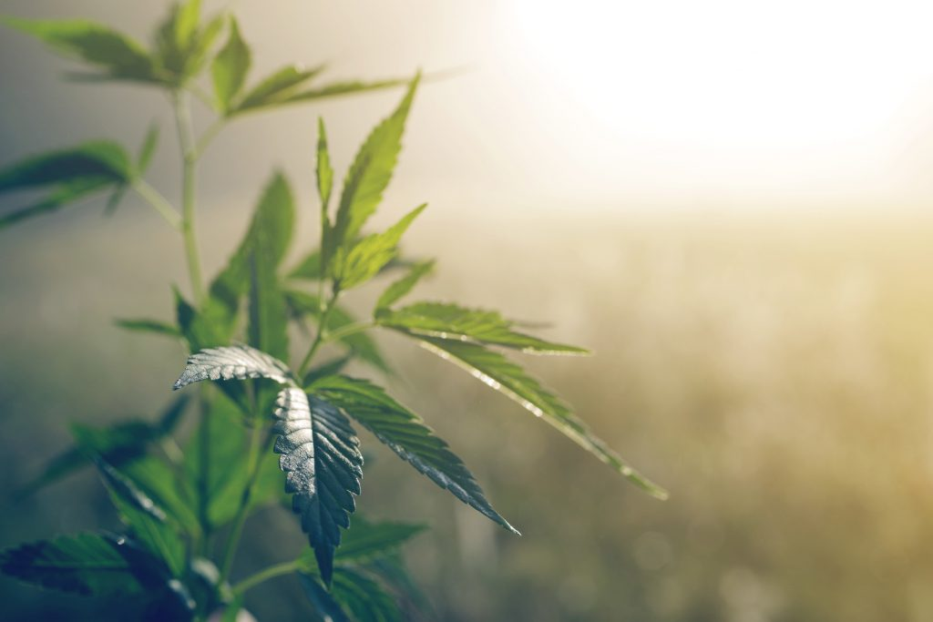 How CBN and CBD are Produced in the Cannabis Plant