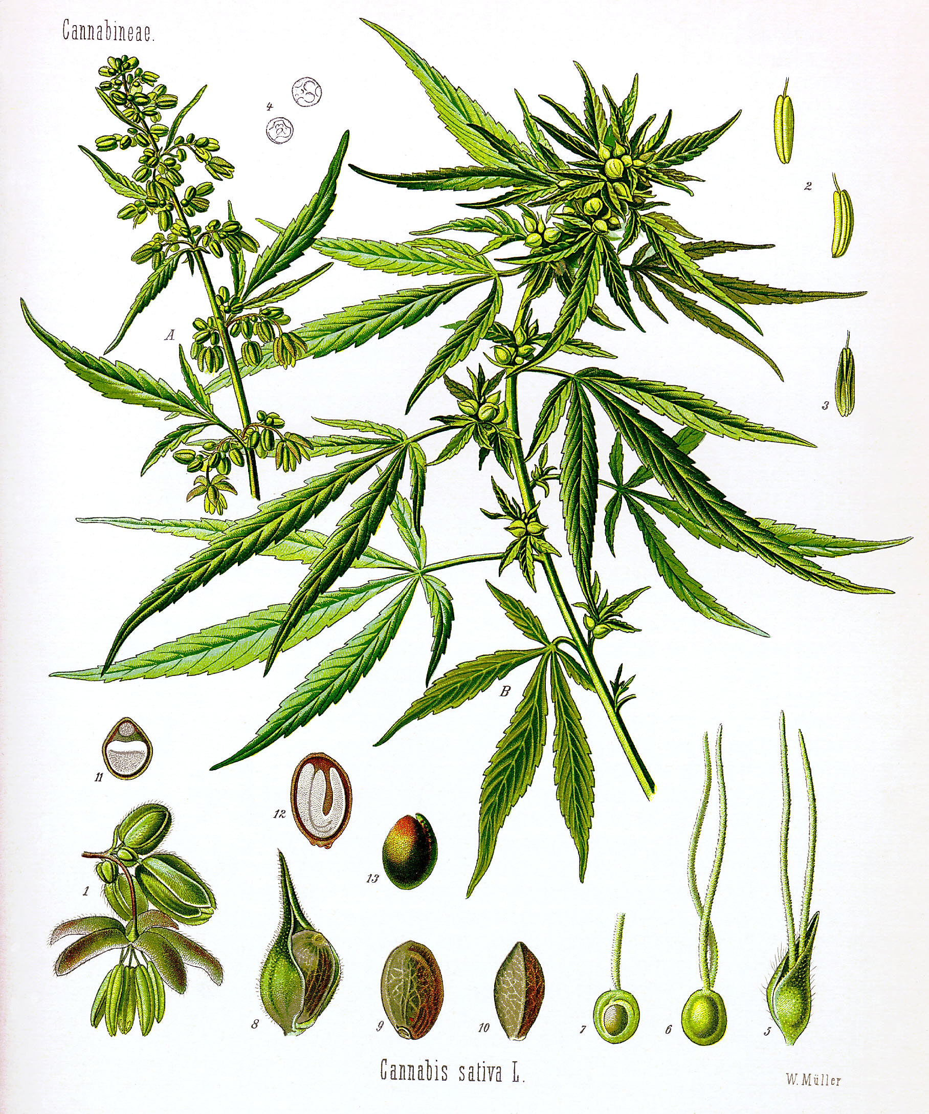cannabis drawing